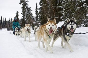 A team of happy huskies pulling a sled