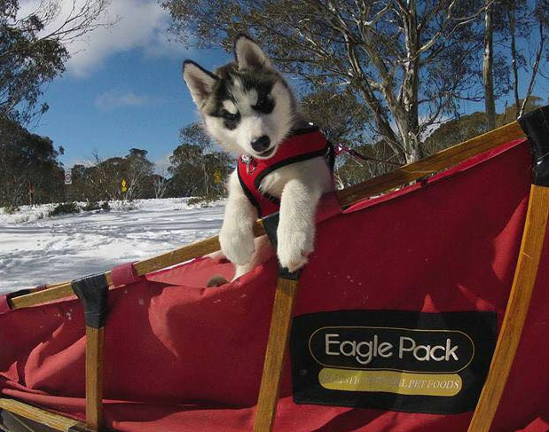 husky puppy in Eagle Pack branded sled